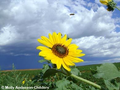 Sunflower Photo © Molly Anderson Childers